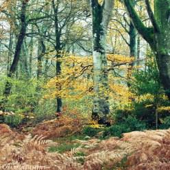 Herbstwald Normandie Cerisy 9631