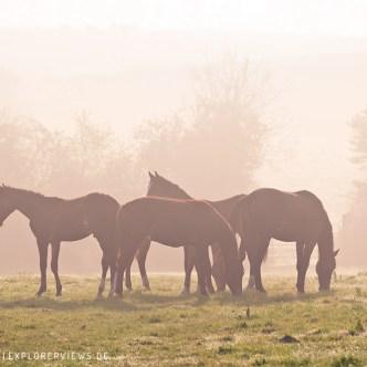 Herde im Morgennebel