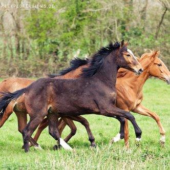 Junge Pferde Galop