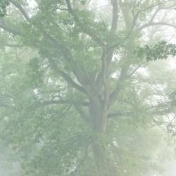 Old Oak in Fog 8750