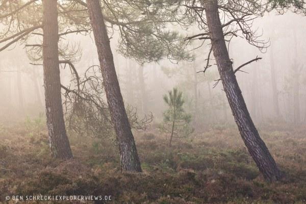 Kiefernwald im Nebel 7617