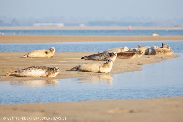 Robben sonnen sich Normandie 4263