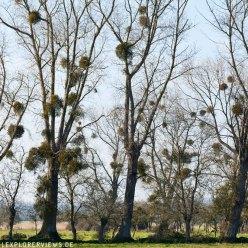 Eschen im Sumpf Cotentin Normandie 4069