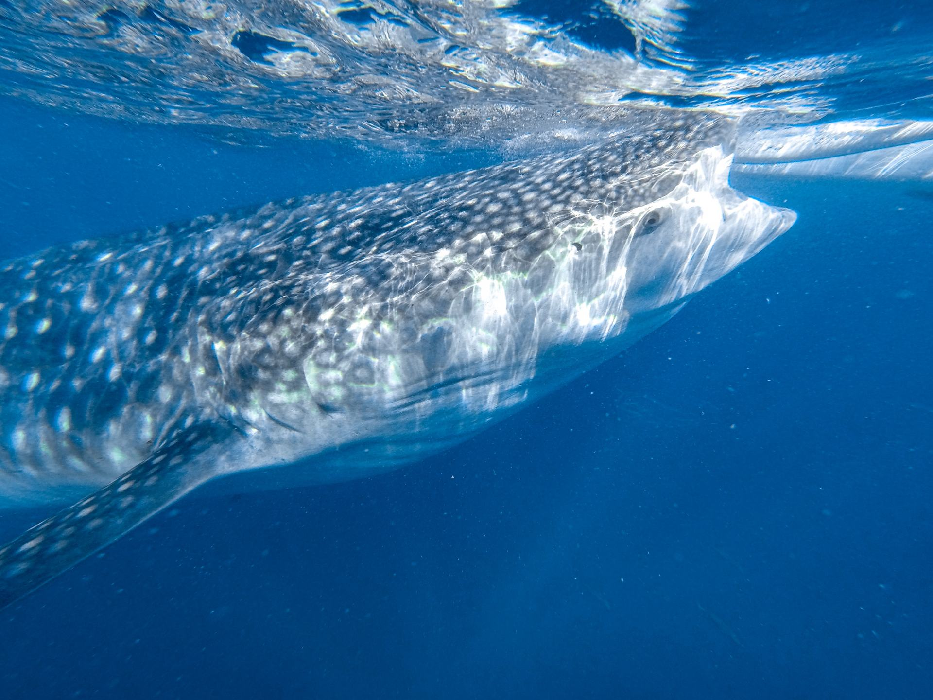 Should You Swim With Whale Sharks in Oslob  Explore Shaw