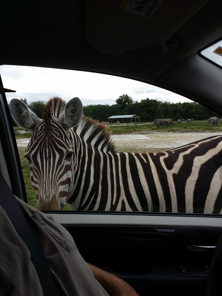 zebras coming right up to our car window at Lion Country Safari