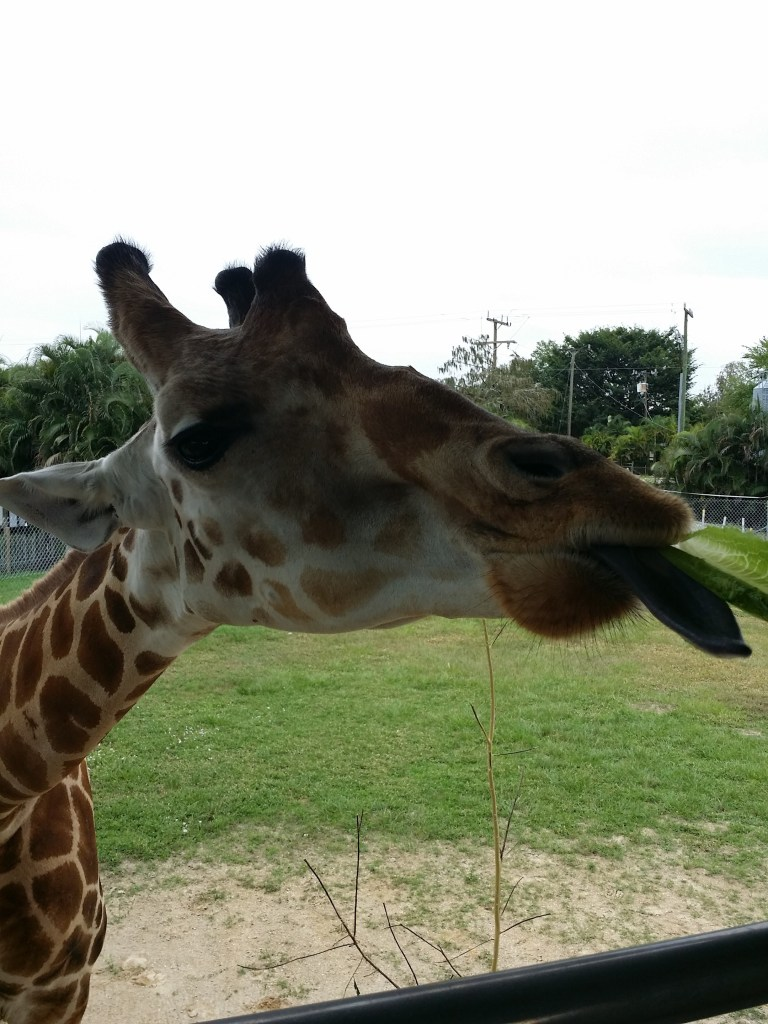 While at Lion Country Safari, some of the best camping in Florida, you can feed a giraffe like this person is doing