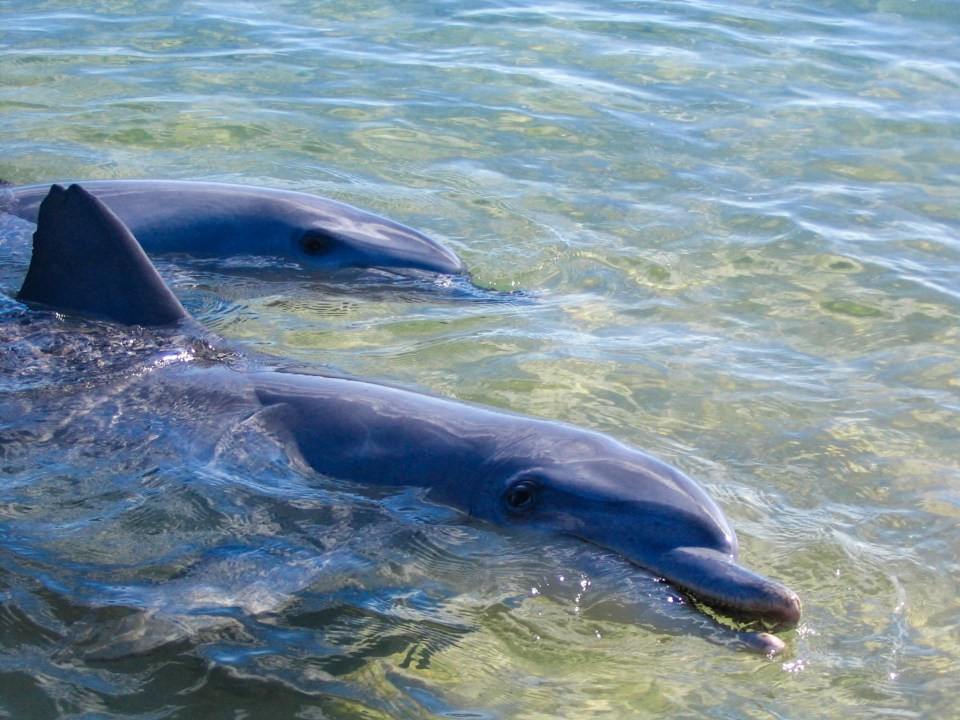 ideal family vacations at Monkey Mia shows dolphins coming up to be fed