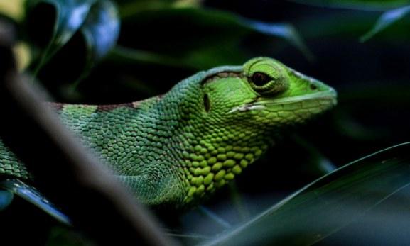 Iguana Colombia