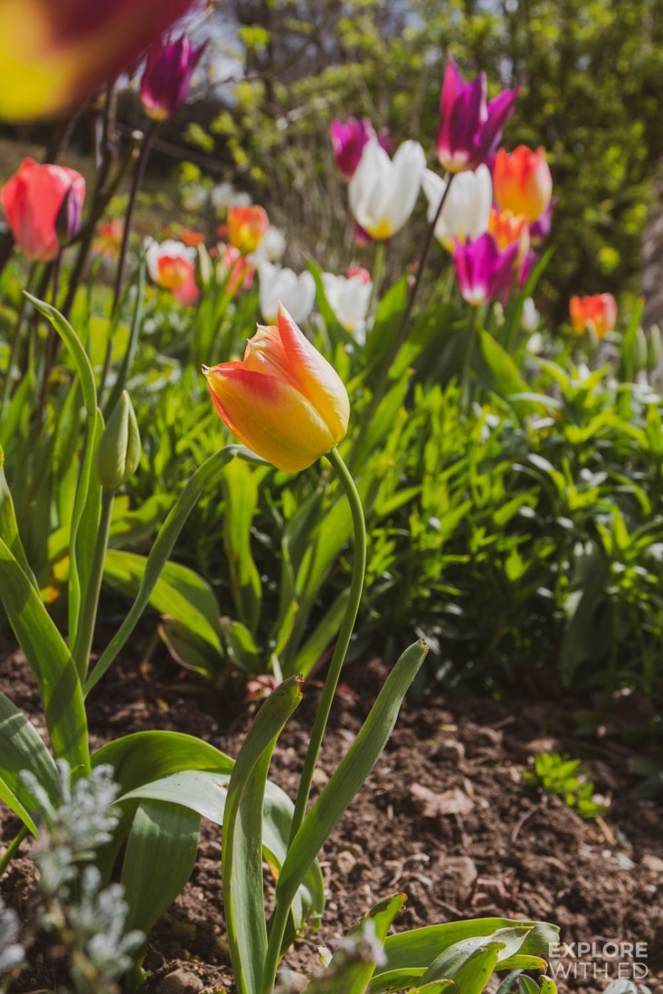 Tulip season at the Rococo Garden