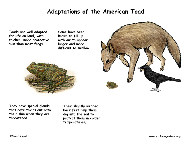 Adaptations of the American Toad