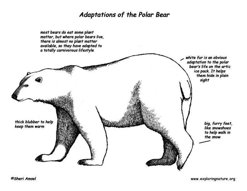 Adaptations of the Polar Bear