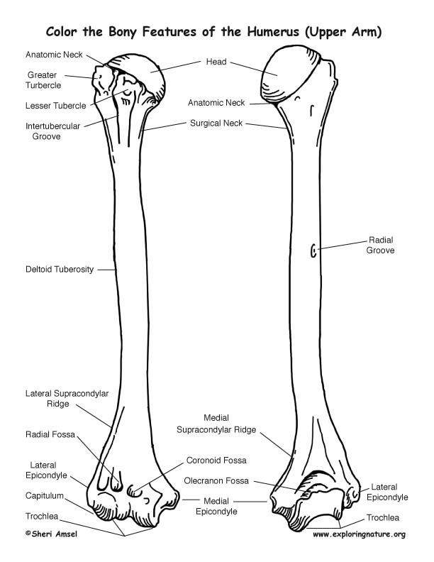 Humerus Boney Features Coloring Page