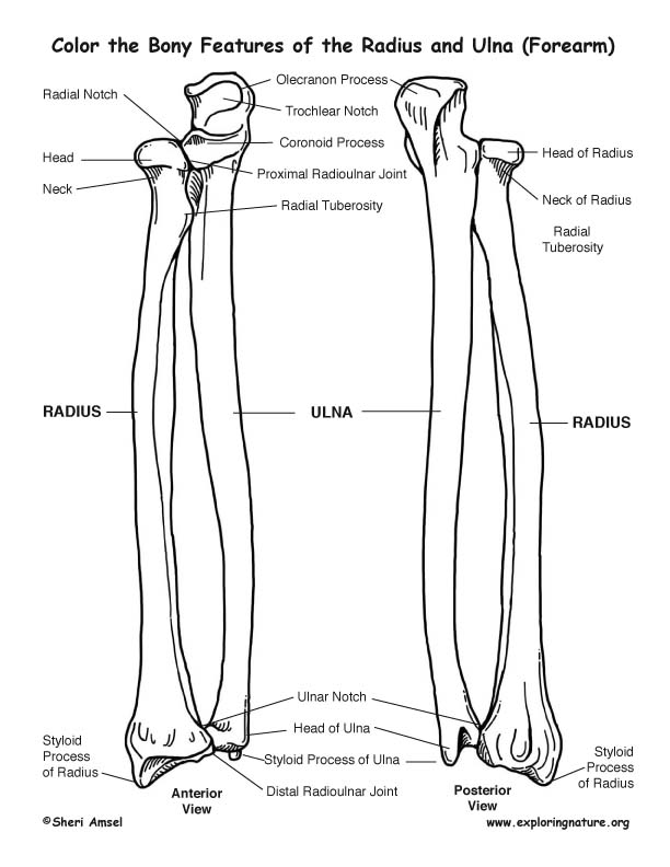 Radius and Ulna (Forearm) Bony Features Coloring Page