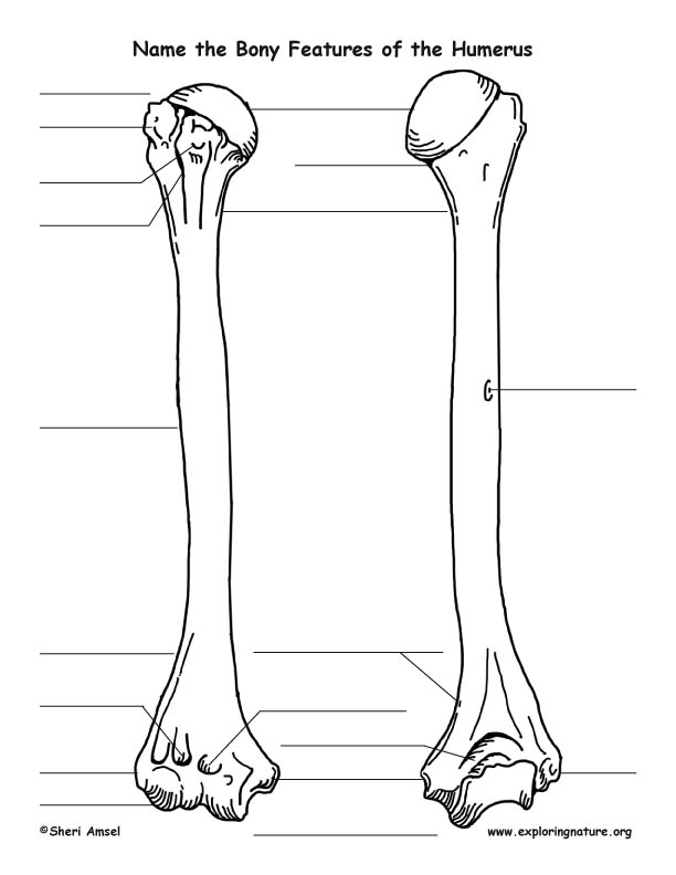 Humerus Bony Features