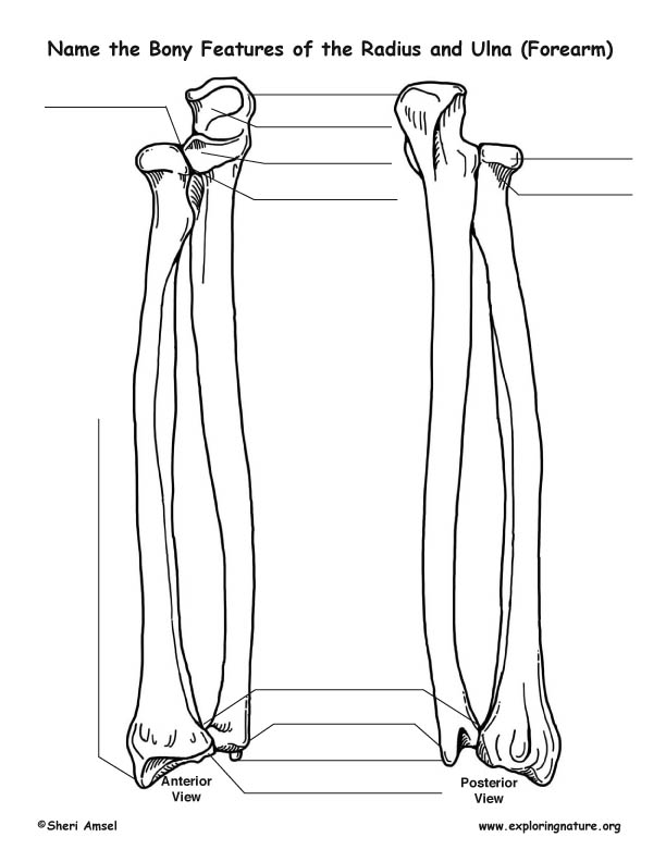 Radius and Ulna (Forearm)
