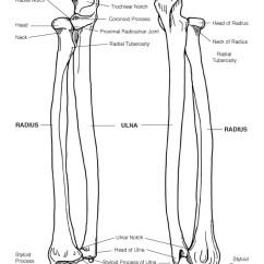 Forearm Bones Diagram 3w Led Driver Circuit Radius And Ulna Bony Features