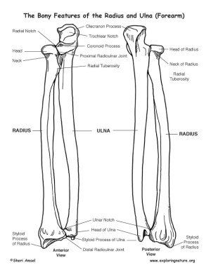 Radius and Ulna (Forearm) – Bony Features