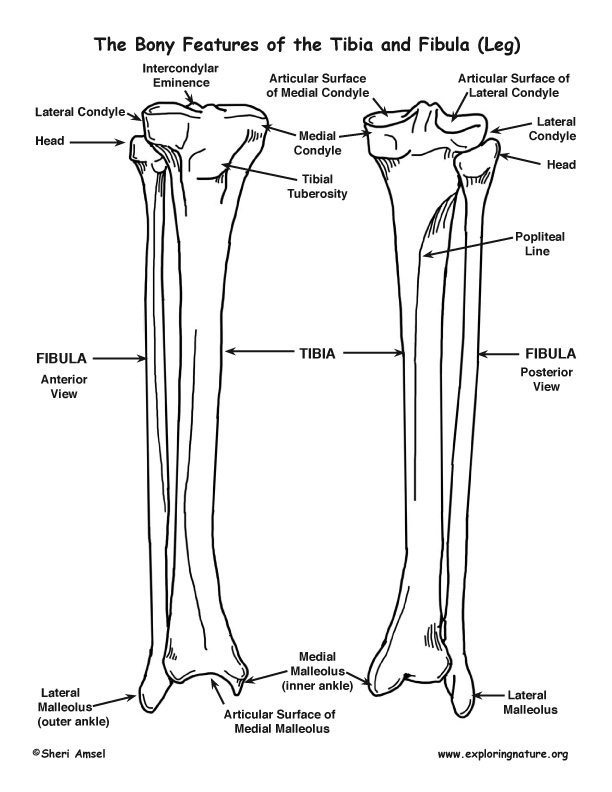 Tibia and Fibula (Lower Leg)