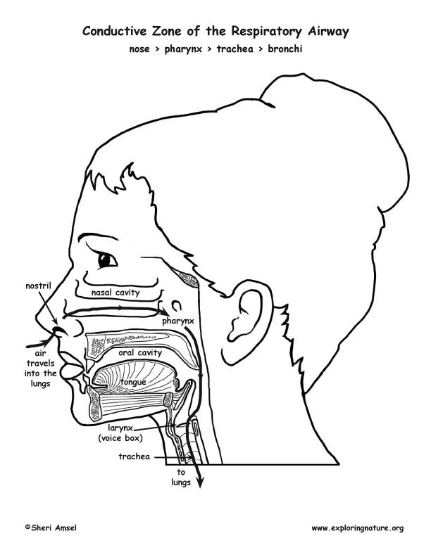 Nose, Pharynx, Larynx, Trachea, Bronchi, Bronchioles