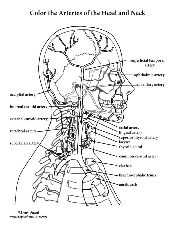 Arteries of the Head and Neck Coloring Page