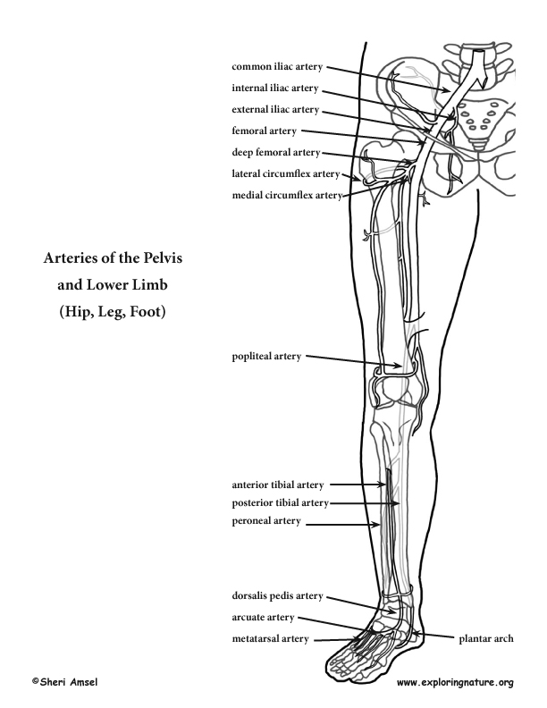 Arteries of the Pelvis and Lower Limb (Hip, Leg and Foot