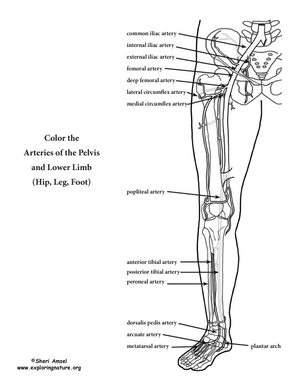 Arteries of the Lower Limb (Pelvis, Leg and Foot) Coloring