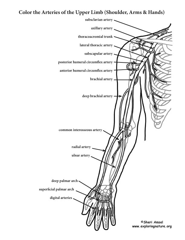 Arteries of Upper Limb Coloring Page