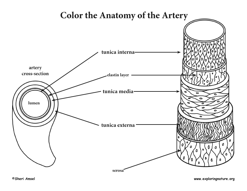 Blood Vessel Anatomy Coloring Page