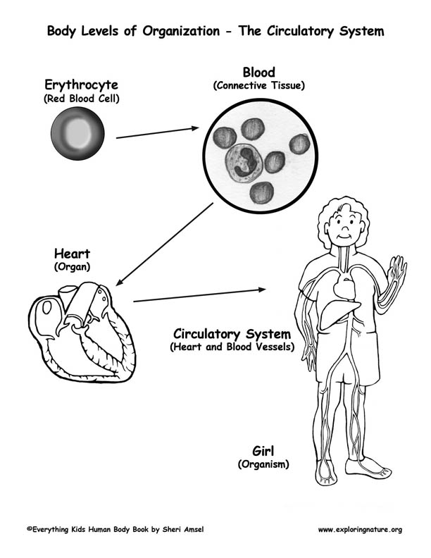 How The Organs Work Together The Endocrine