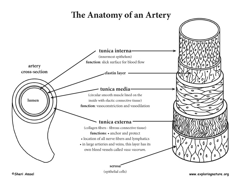 Blood Vessel Anatomy (Advanced*)