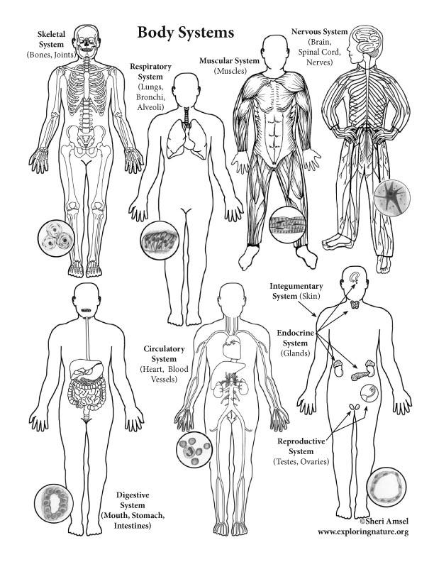Body Systems (Advanced)