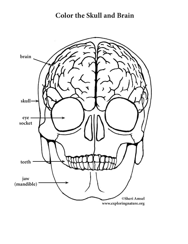 Brain and Skull Coloring Page (Elementary)