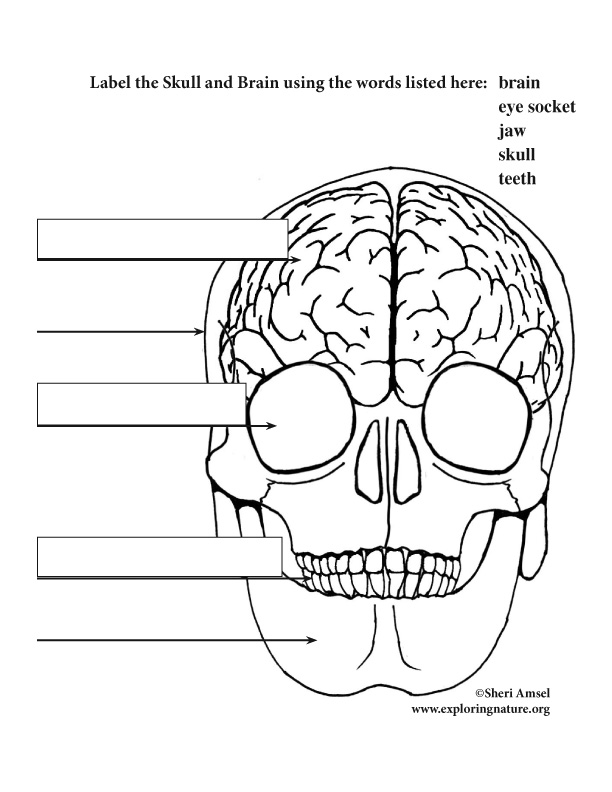 Brain and Skull Labeling (Elementary)