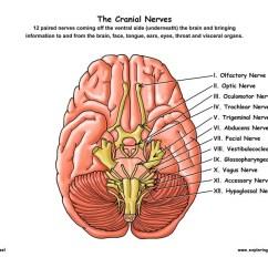 Kids Skeletal System Diagram Minn Kota 12v Trolling Motor Wiring Cranial Nerves Of The Brain (12 Pairs)