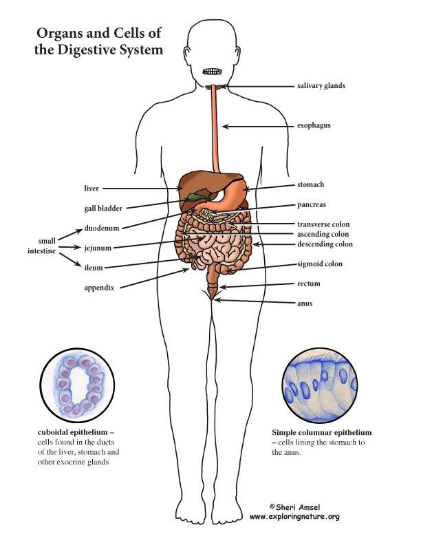 Digestive System Color Diagram (Mini-Poster)