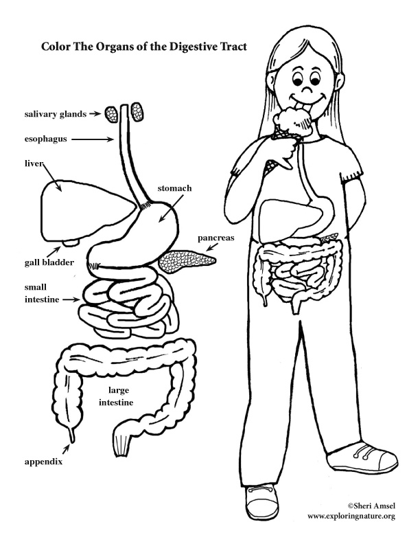 Digestive Tract Coloring Page (Elementary)