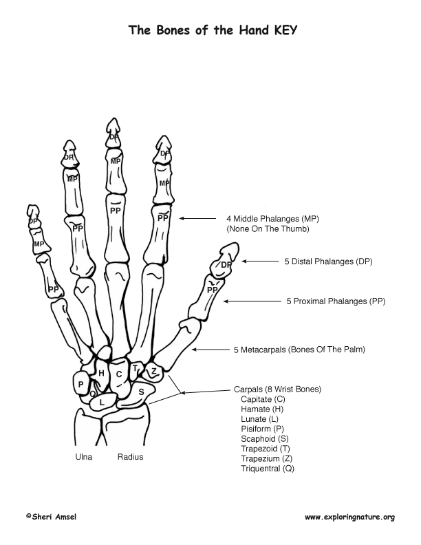 Bony Features of the Hand
