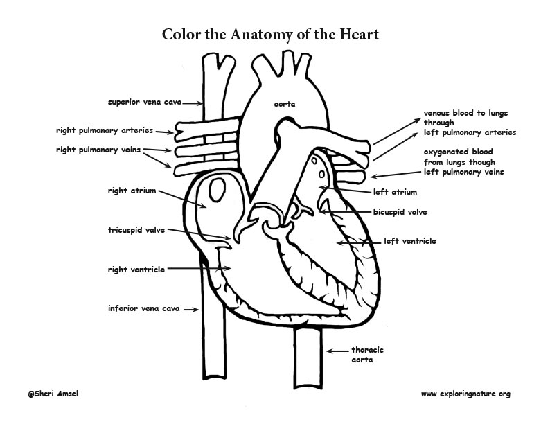 Heart Anatomy Coloring Page