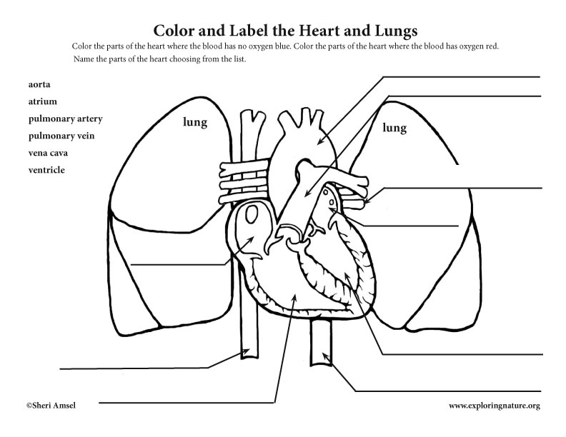 Blood Flow Through The Heart Coloring Page Coloring Pages