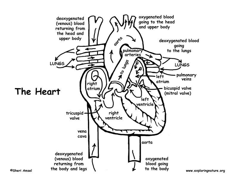 Blood Flow Through the Heart Coloring Page