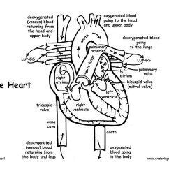 Unlabeled Muscles Diagram Blank 1996 Honda Civic Fuse Heart Anatomy And Blood Flow (advanced)