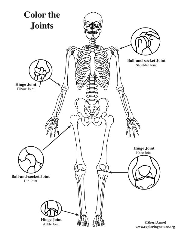 Joints of the Body (Basic) Coloring Page