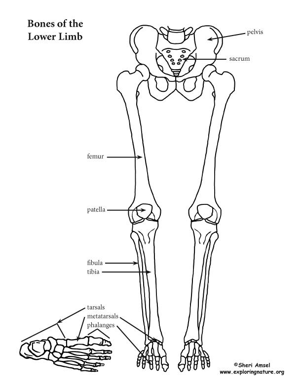 Lower Limb (Thigh, Leg and Foot)