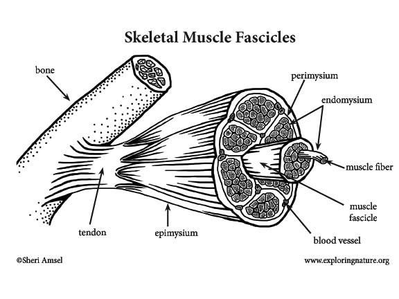 Muscle (Skeletal) Labeling Page