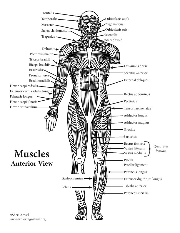 About the Muscular System