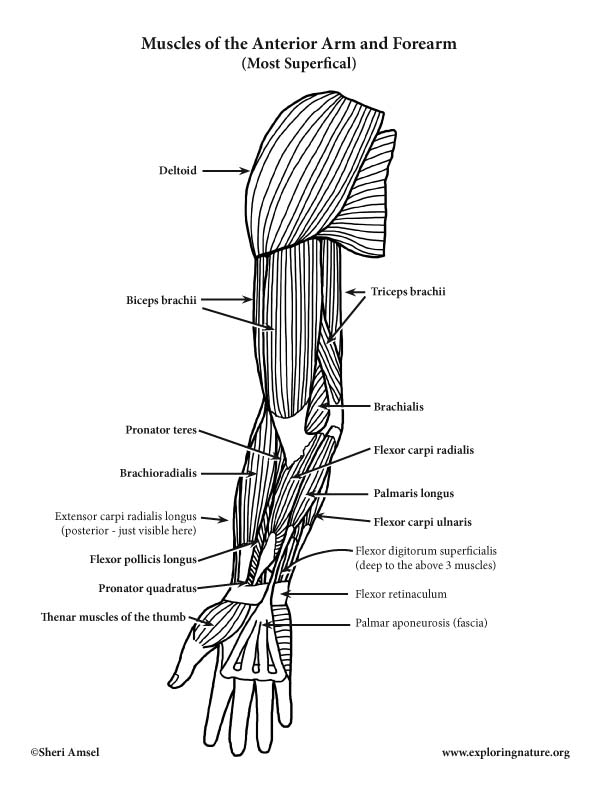 Muscles of the Arm and Forearm (Anterior) (Advanced)