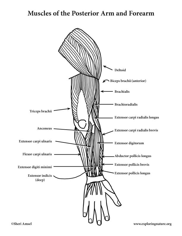 Muscles of the Arm and Forearm (Posterior) (Advanced)