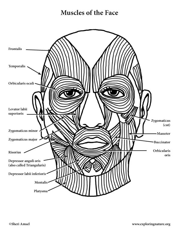 muscles of facial expression diagram 2005 mercury outboard ignition switch wiring and mastication (chewing)