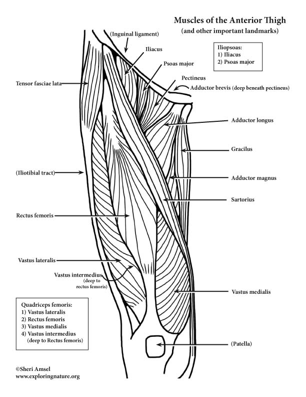 Muscles of the Hip and Thigh (Anterior) (Advanced)