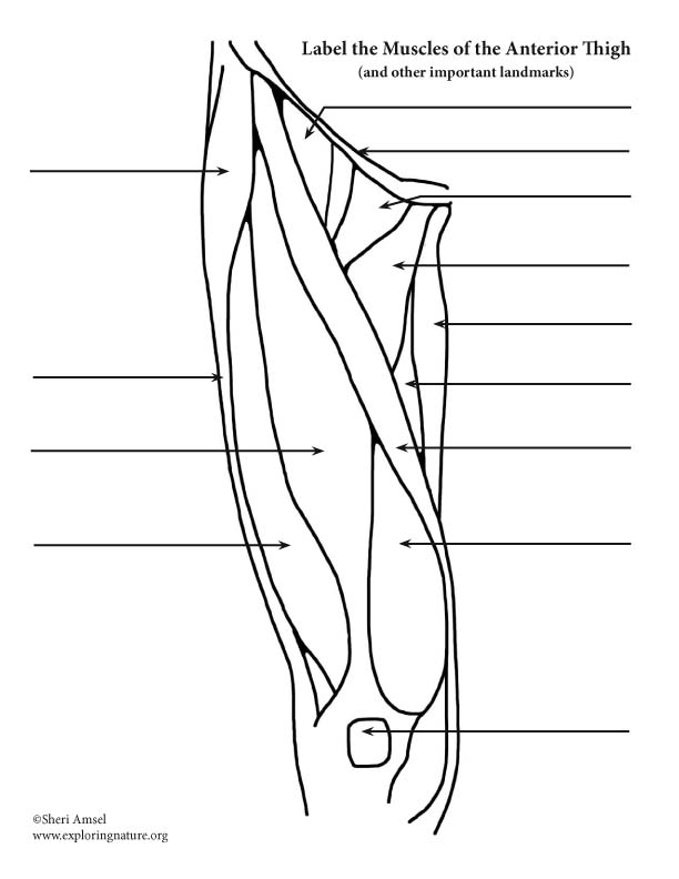 Muscles of the Thigh and Hip (Anterior) Labeling